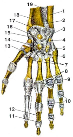 Изображение - Луче локтевой сустав image028