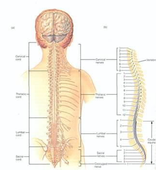 Lumbar spine nerve root anatomy