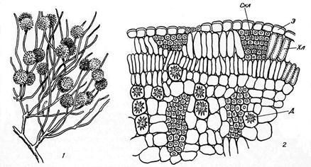 Строение стебля ксерофитов