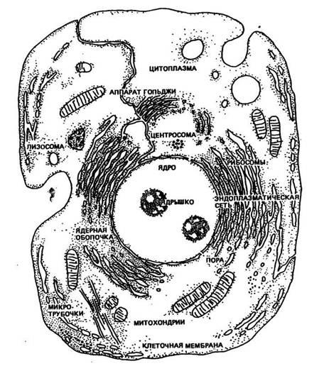 Схема строения животное клетки