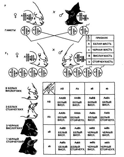 Схема скрещивания белой с