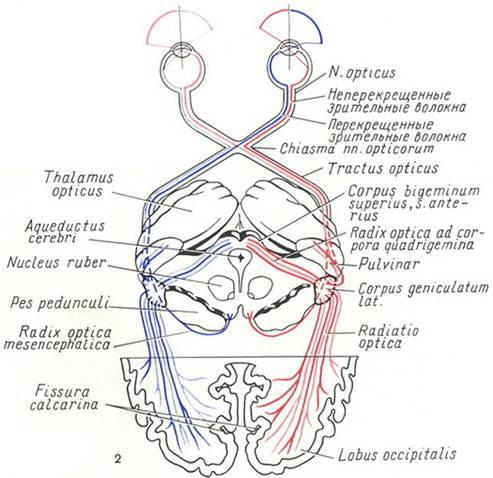 Схема проводящих зрительных