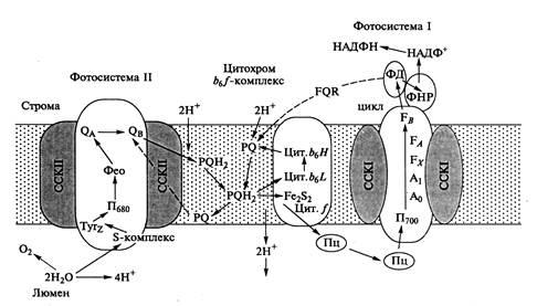 Современная схема фотосинтеза