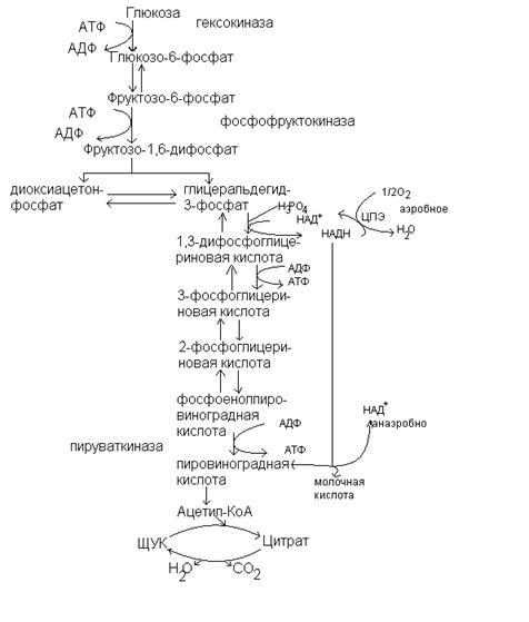 моносахара - глюкоза и фруктоза: