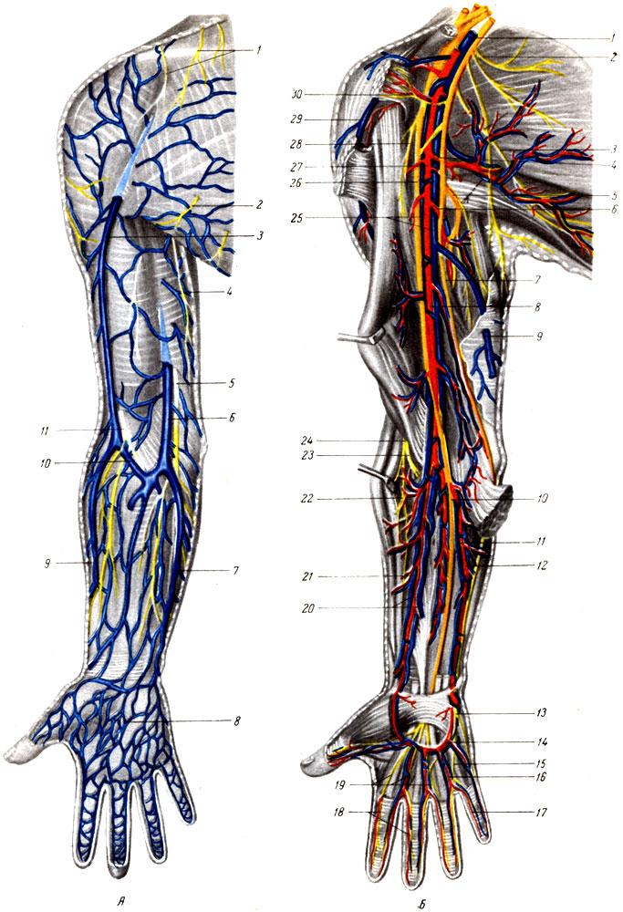 Половой член кровоснабжение капилляр