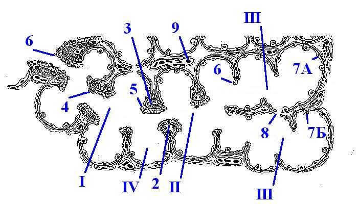 Схема - строение ацинуса