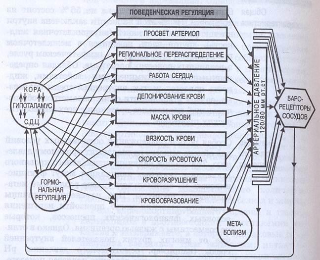 Схема функциональной системы регуляции минутного объема крови фото 12