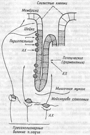 Схема гуморальной регуляции желудочного сокоотделения схема