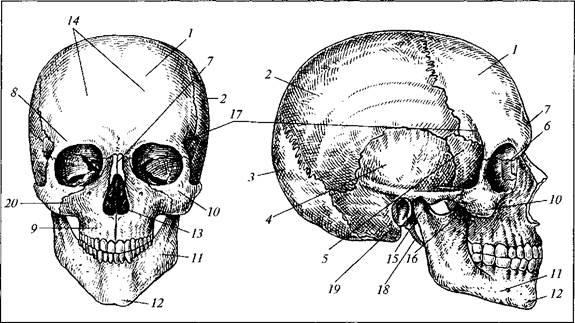Строение головы человека