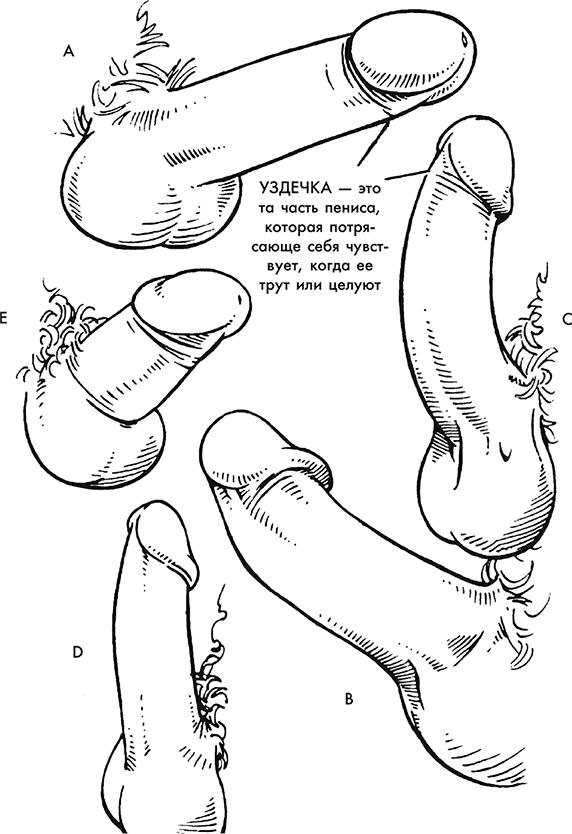 форма и размеры члена фото и видео