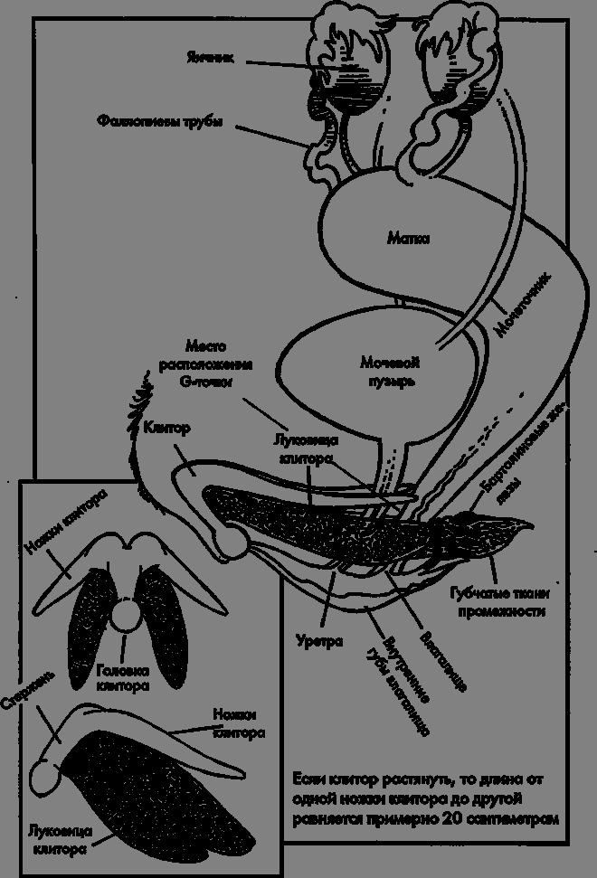 Клитор в разрезе