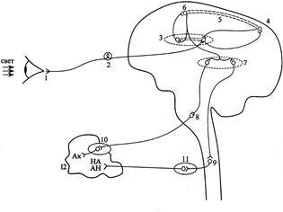 Рефлекторная дуга безусловного рефлекса схема 729