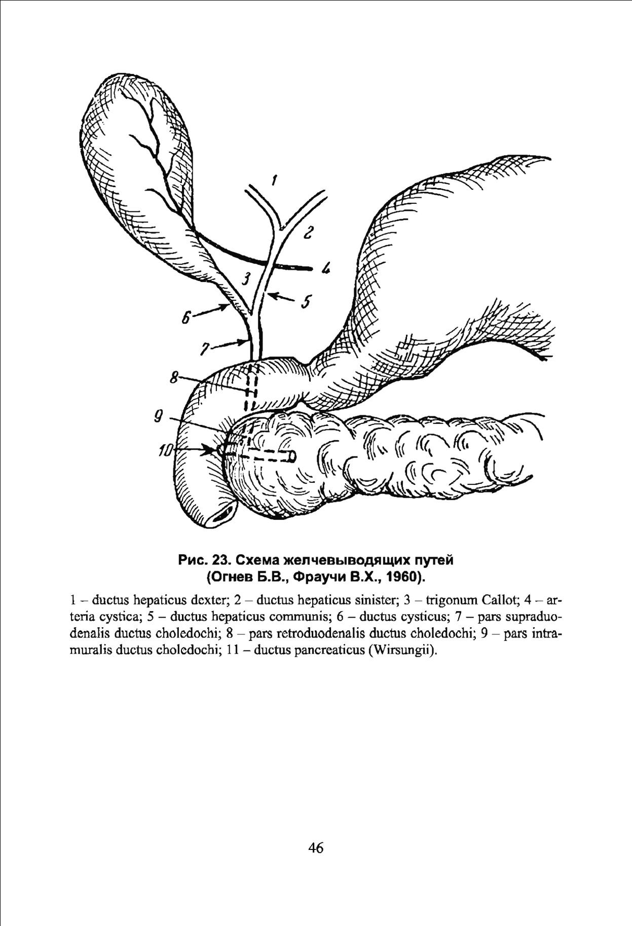 Charmant Ductus Hepaticus Galerie - Menschliche Anatomie Bilder ...