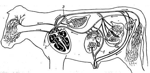 Схема кровообращения у плода