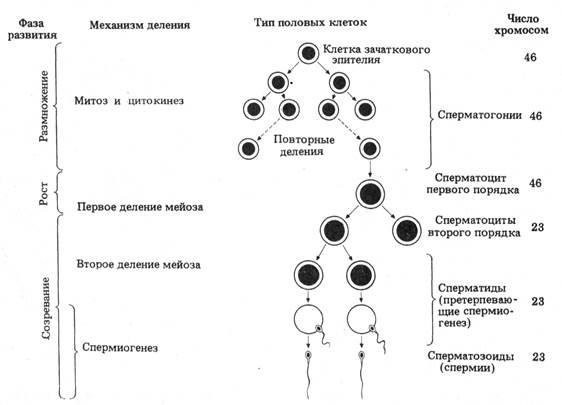 3 фазы сперматогенеза