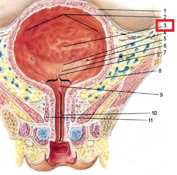 Женский мочеиспускательный канал