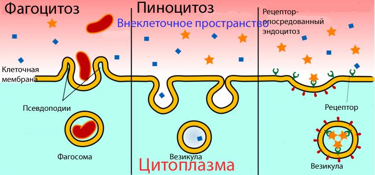 Фаго и пиноцитоз