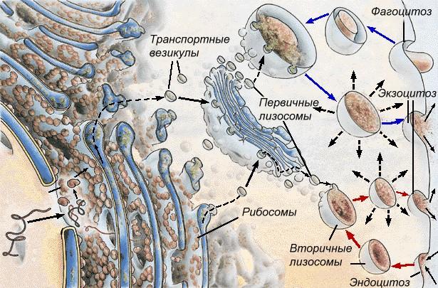 Функции эпс в растительной клетке