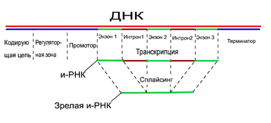 Рис 3 схема эволюции жизни с учетом горизонтального обмена генами (один из возможных вариантов)