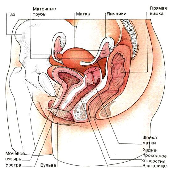 kak-spermatozoidam-proniknut-v-sheyku-matki