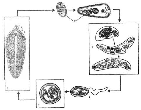 На схеме развития печёночного