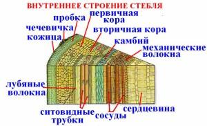 Как строение стебля связано с выполняемой функцией