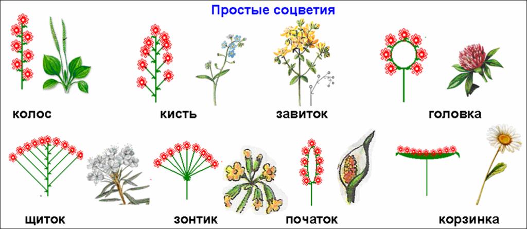 Урок биологии в 6-м классе разработан к учебнику растения