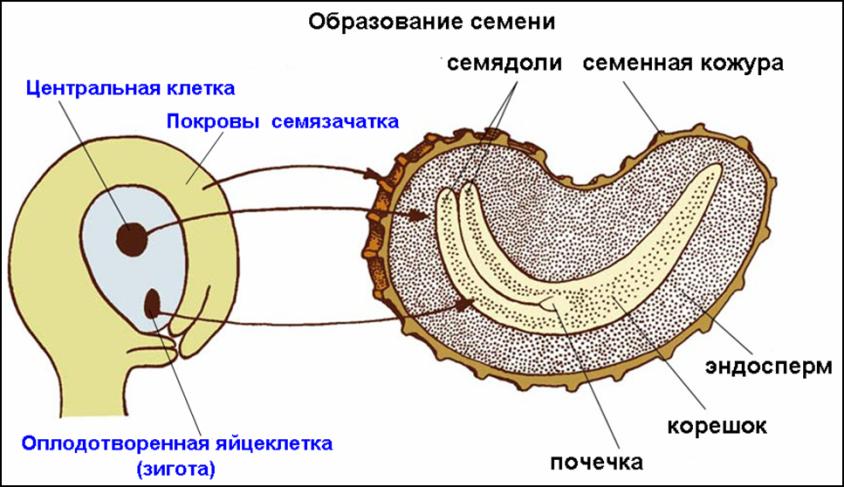 Триплоидный