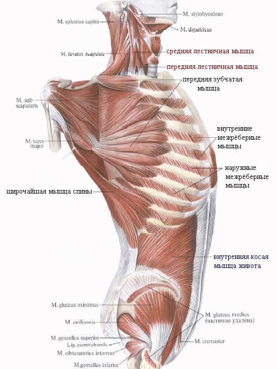 Мышца лестничная