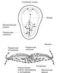 Инвагинация клетки