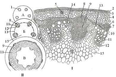 Биология первичное строение стебля